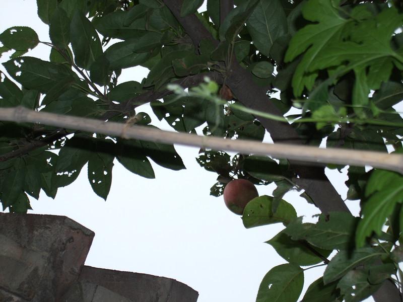 今年的苹果树长的不好,都让虫子打了,整个树上我就找到一只
