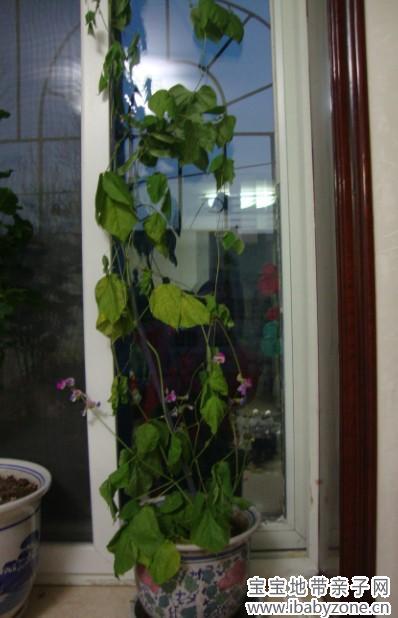 水培豆芽步骤的图片