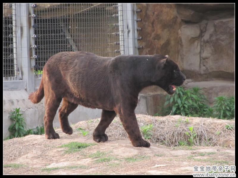 老虎狮子豹子狼-观猛兽区的虎狮豹狼