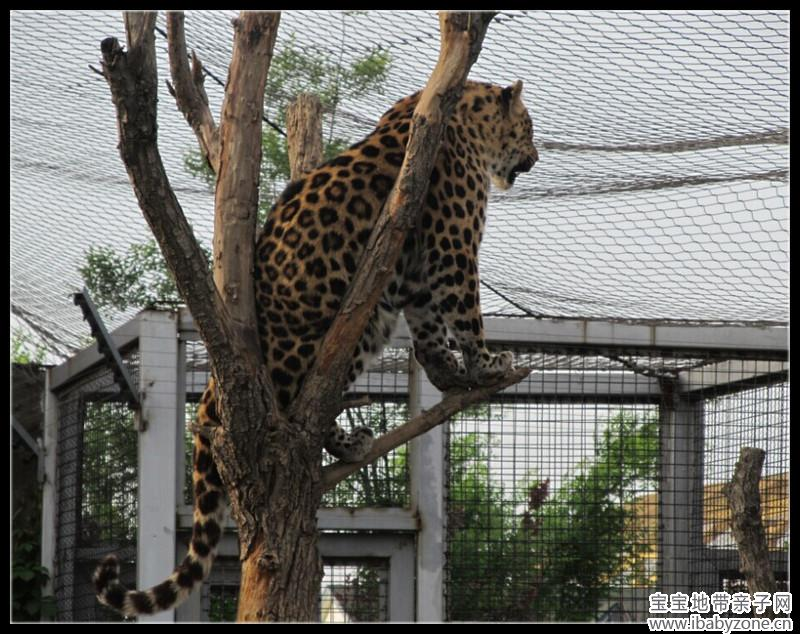 狮子躲在了枯树后面,怎么有种变 会爬树的豹子   帅气的金钱豹,不