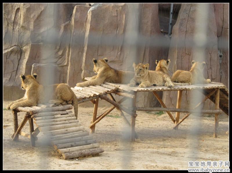 5只小狮子原来只有1岁啊.   狼出没   看起来确实比狗要凶狠的多呢.